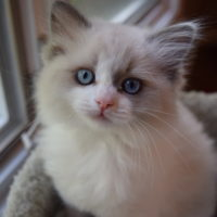 Ragdoll Kittens Nursery Sal-Shire Ragdolls-kittens South